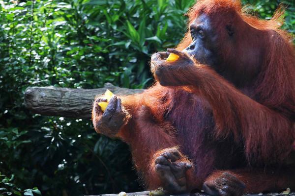 之前是新加坡动物园的招牌明星,出名的活泼搞笑的猴子.