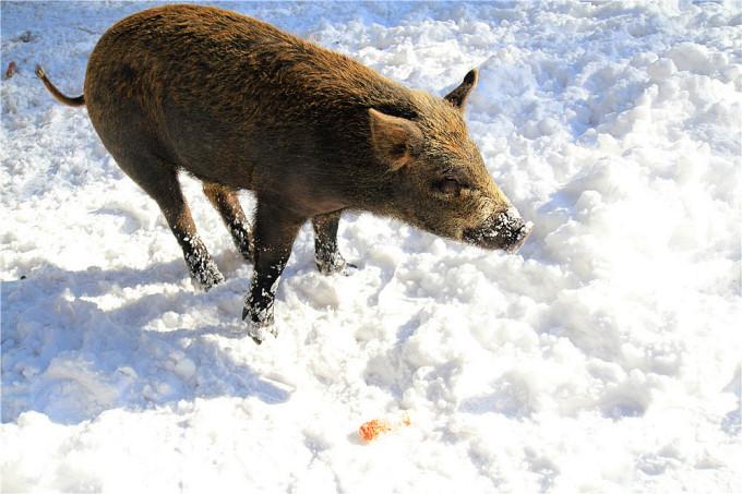 拍照的时候我可是随时准备撤退的,不过小野猪对玉米棒子的兴趣显然