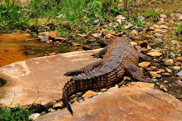 还可以向一些小鳄鱼,蟒蛇,蜥蜴,袋鼠,树熊等友好的野生动物打招呼.