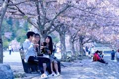 【日本·樱吹雪】2018京都+有马温泉6日,在樱树下享用早餐
