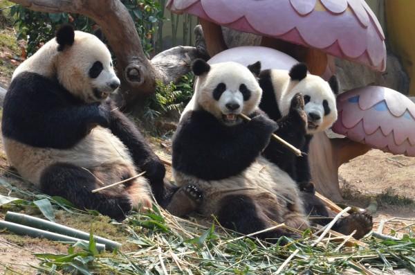 壁纸 大熊猫 动物 600_397