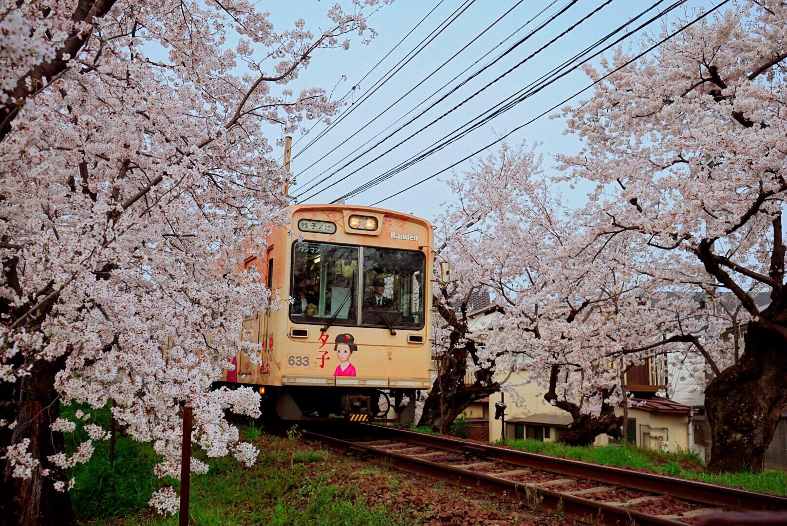 生日旅行遇上樱花盛开