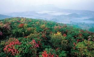 【黔西图片】【转贴】 贵州百里杜鹃花儿别样红