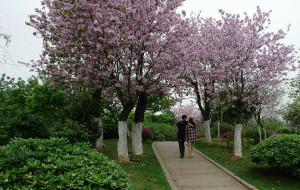 【柳州图片】四月,紫荆花绽放的柳州城