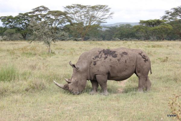 壁纸 大象 动物 犀牛 野生动物 600_401