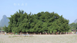 阳朔景点-大榕树风景区