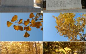 【昌平图片】张各庄的银杏林