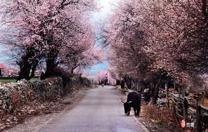 【林芝图片】【青鸟贝贝】想做一棵开花的树。2014四月林芝行