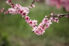 春天住进桃花里——阳山畈