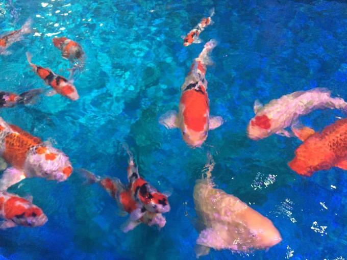 壁纸 动物 鱼 鱼类 680_510