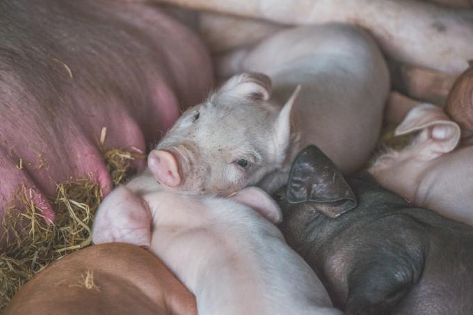 所以说,猪真的是一种很可爱的动物呀.