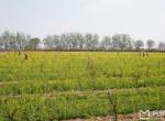 2017晋州油菜花时间、地址、门票,晋州周家庄油菜花