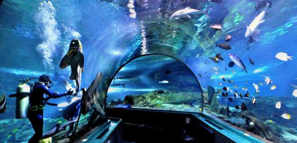 【景点简介】 关岛海底世界水族馆内有一条长达122米透明亚克力隧道式水族箱,高7英呎、宽7英呎,是世界上最长的海底隧道。隧道内80万加仑海水都是直接由大海引入馆内,相当于300万升海水。为了尽量模拟真实的海底世界,海底隧道不仅有五彩斑斓的热带鱼、珊瑚,更放置了飞机和沉船的残骸。由于压克力隧道的厚度只有3英吋,游客触摸玻璃就像是可以触摸到鱼一般,但是又一点感觉不到水带来的压力。鱼儿隔着高压玻璃在我们上方及左右游动,抬头看水里的鱼会发现它们的躯体随着水流曲曲折折的变化,颜色也随之变得五彩斑斓,在隧道穿行时仿佛