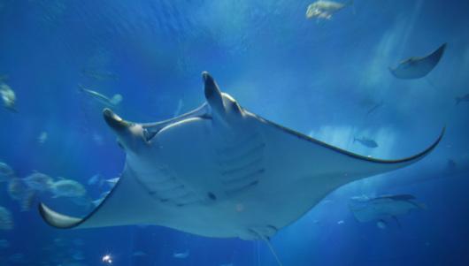 壁纸 动物 海底 海底世界 海洋馆 水族馆 鱼 鱼类 530_301