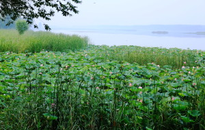 【济南图片】粉光花色叶中开,  荷气衣香水上来 --白云湖观荷花
