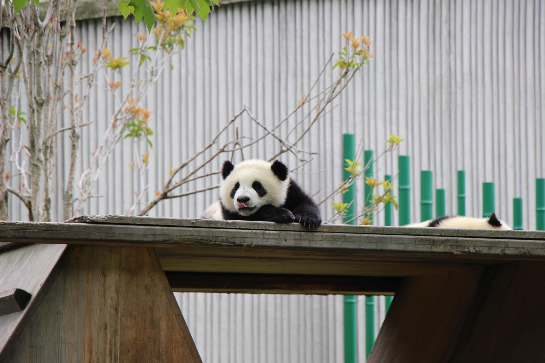 ChengDu Wolong Panda Reserve Tour