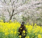 樱花和油菜花